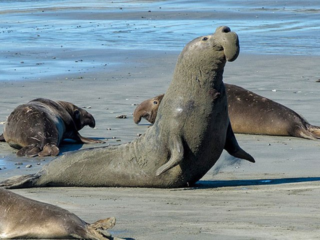 Guided Elephant Seal Walks