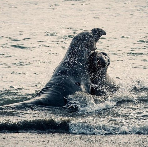 Teenage elephant seals sparring in the surf - Photo by Instagram, @prolost
