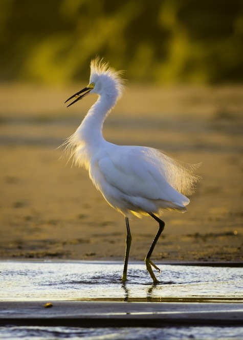 Snowy-Egret-at-Natural-Bridges-State-Park-e1453774112438