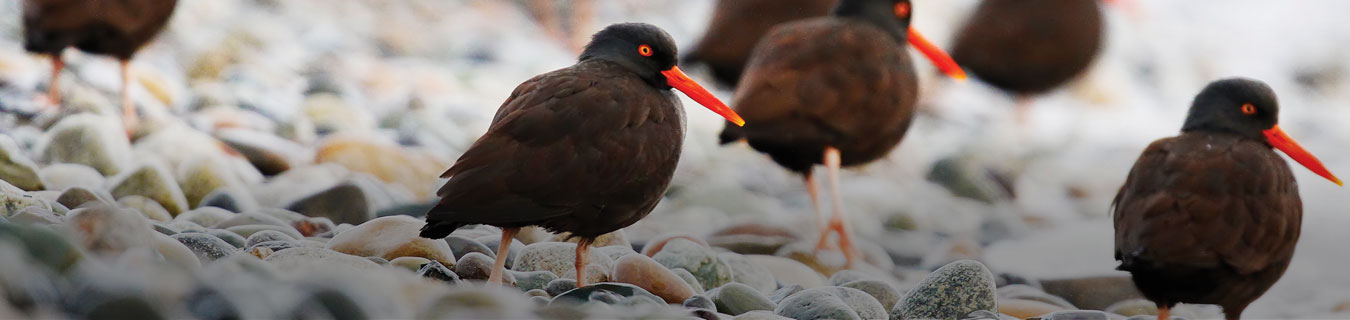 black-oystercatchers-hero