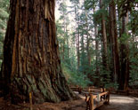 romance-in-the-redwoods