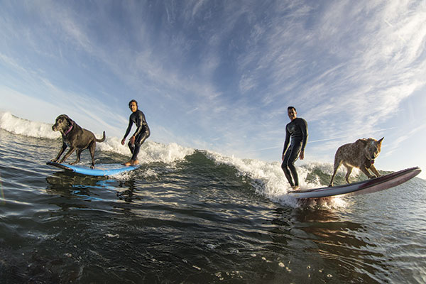 Surfing with dogs