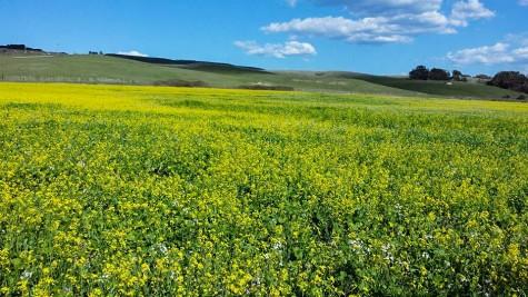 Highway 1 Wildflowers - Davenport