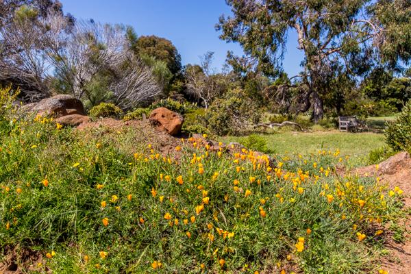Arboretum Poppy