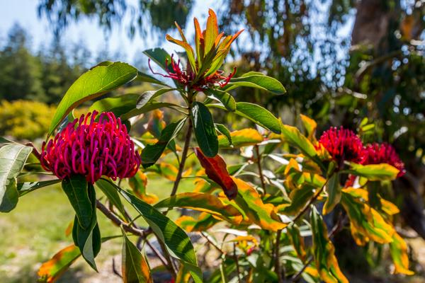 Arboretum Protea