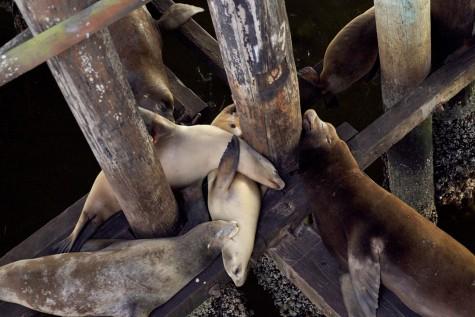 Sea-lions-Santa-Cruz-Wharf