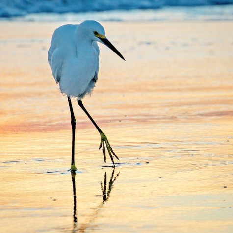 A snowy egret bathing in the last light of the day.
