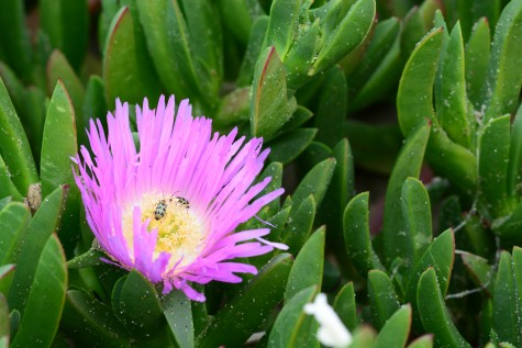 Thoughtful Thursday Photo of the Week- Ice Plant & Bugs