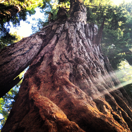 Connect with Nature at Henry Cowell Redwoods State Park