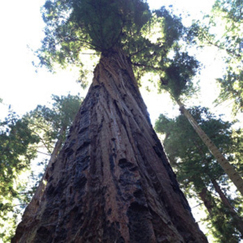Redwood in Big Basin