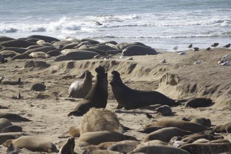 Año Nuevo Elephant Seals