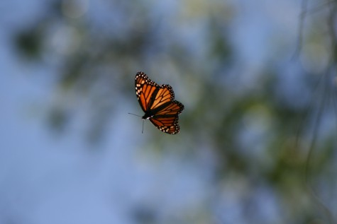 Monarch-Butterflies-Natural-Bridges