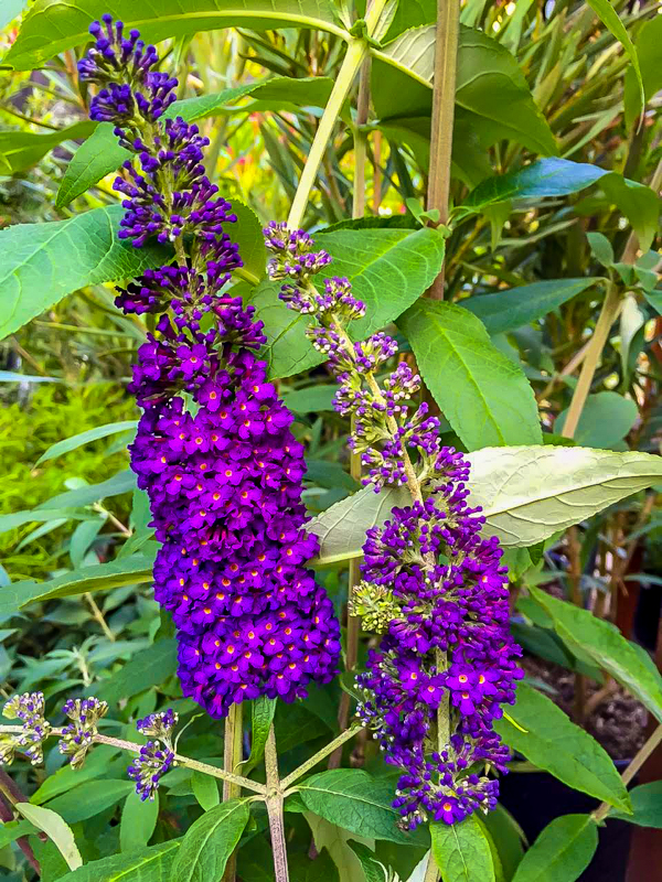 Mt Feed Butterfly Bush