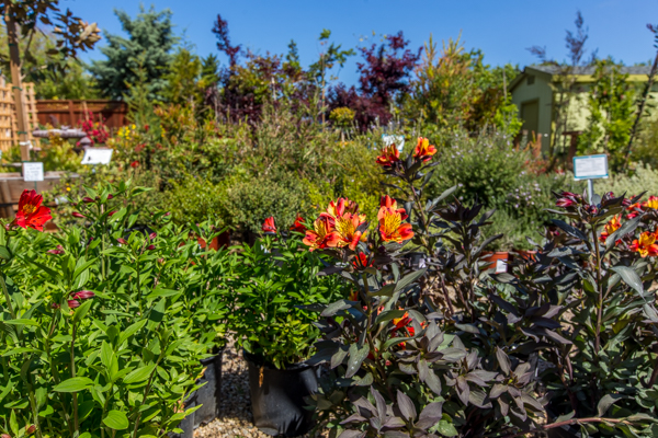 Garden Co Peruvian Lilies