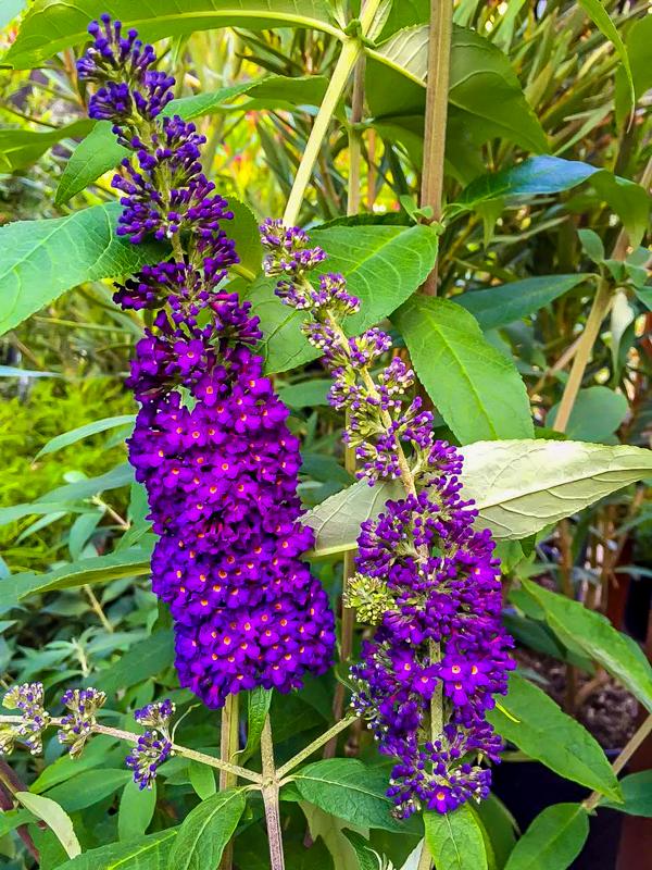 Mt Feed Butterfly Bush
