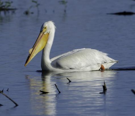 White Pelican Watsonville Slough - Photo courtesy of Lisa Sheridan