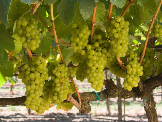 California Chardonnay Grapes on the Vine