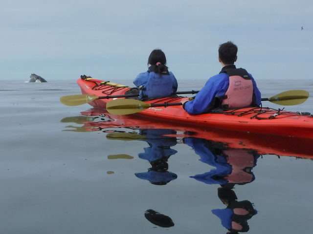 Two people kyaking in Santa Cruz, whale breaching the surface in distance